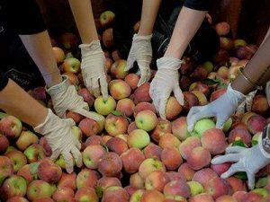 Volunteers grab apples